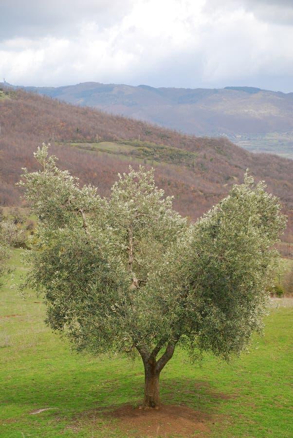 橄榄树托斯卡纳 库存照片