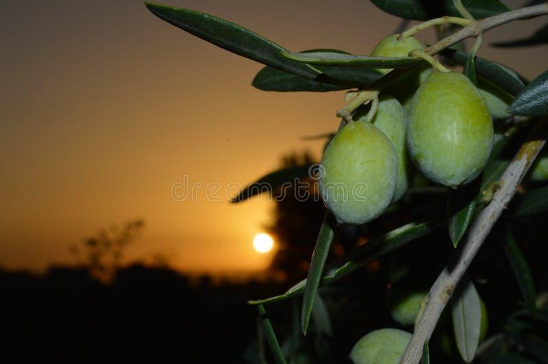 橄榄树枝用在美好的日出期间的果子,西西里人的背景 免版税库存照片