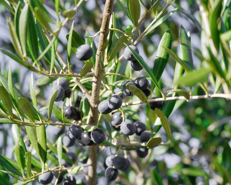 橄榄树枝用新鲜的成熟果子 免版税库存图片