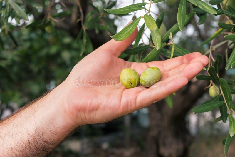 橄榄树枝 免版税库存照片