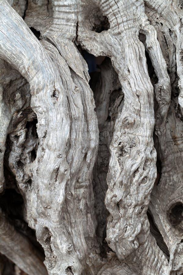 橄榄树树干 免版税库存照片