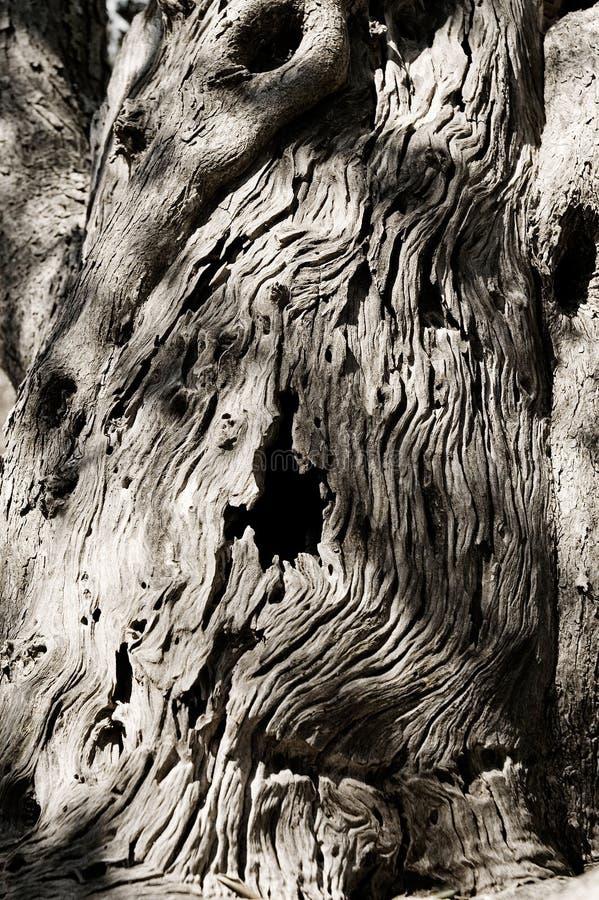 橄榄树树干 图库摄影