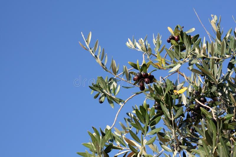 橄榄树用黑橄榄在晴天 免版税库存照片