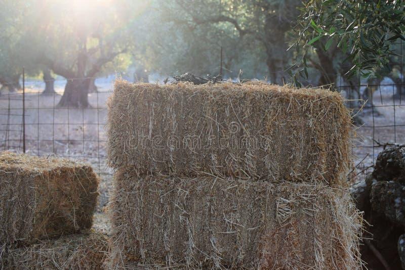 橄榄树种植园和堆干草 免版税库存图片