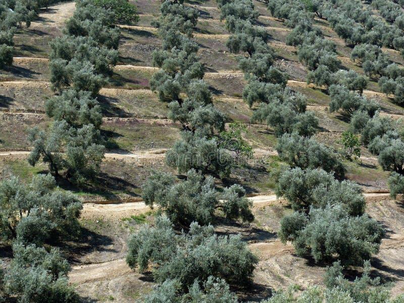 橄榄树种植园结构树 图库摄影