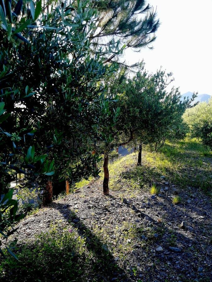 橄榄树路 免版税库存图片