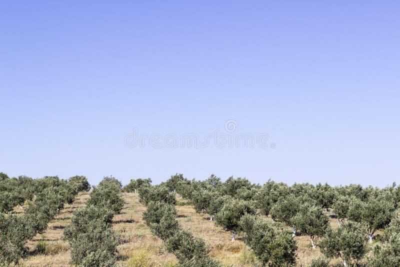 橄榄树透视宽射击在开放小山的在伊兹密尔在Seferihisar 免版税库存照片
