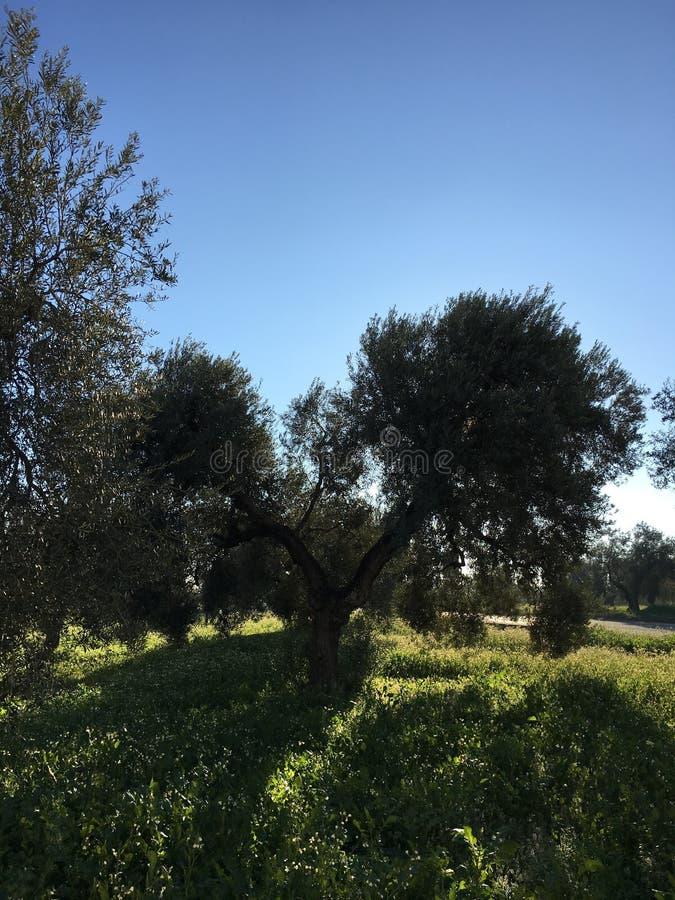 橄榄树领域 免版税库存图片