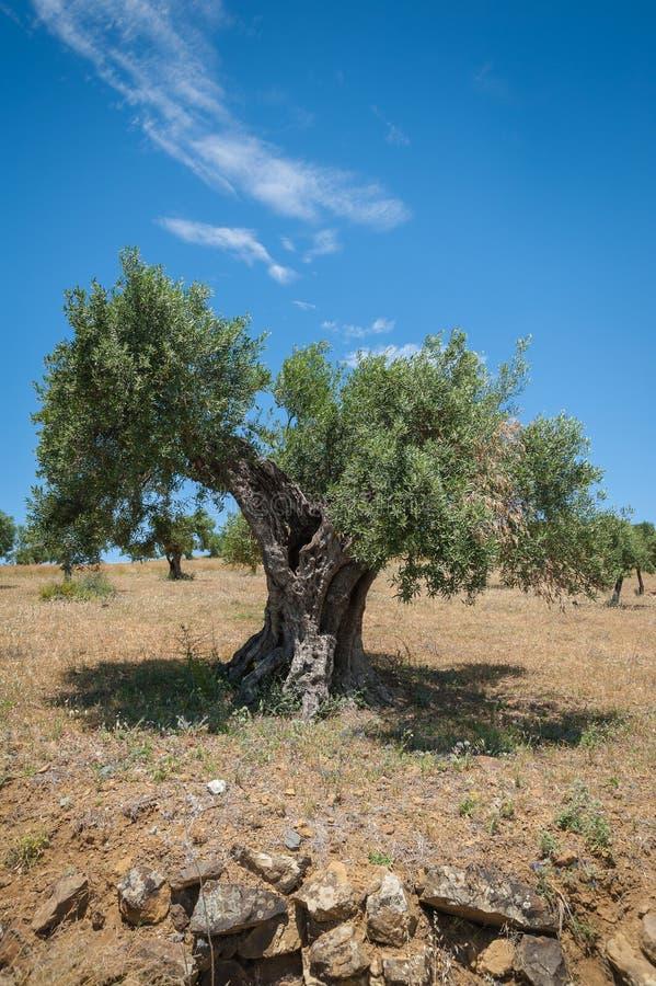 橄榄树,大约 1000岁甚至更多 橄榄树种植园在安达卢西亚,安大路西亚 西班牙 欧洲 库存图片