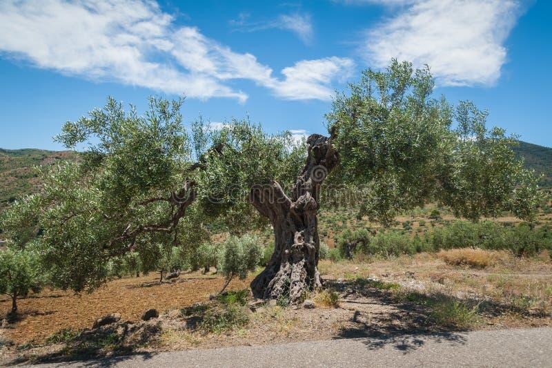 橄榄树,大约 1000岁甚至更多 橄榄树种植园在安达卢西亚,安大路西亚 西班牙 欧洲 图库摄影