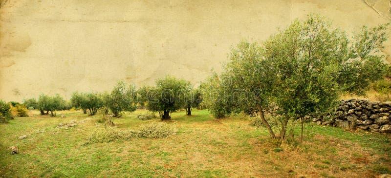 橄榄树 库存照片