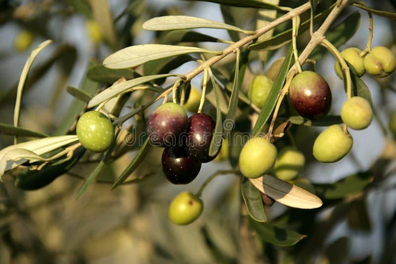 橄榄树 库存图片