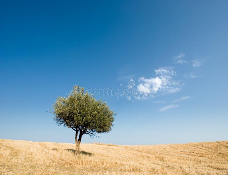 橄榄色孤零零结构树 库存图片