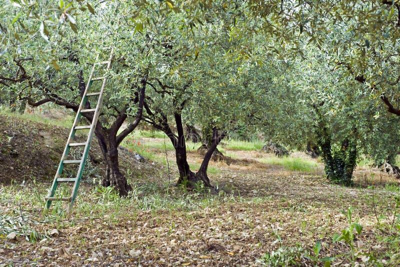橄榄色果树园 库存照片