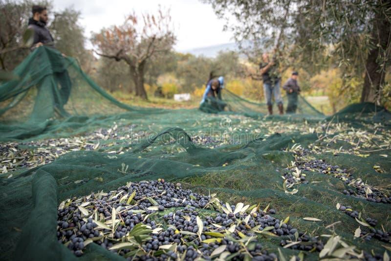 橄榄色的收获在乡下在意大利 免版税库存图片