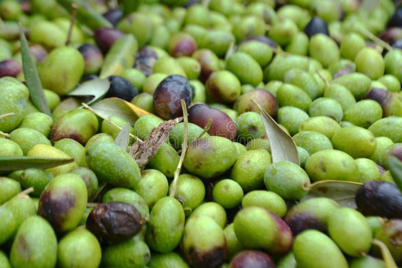 橄榄色的收获在托斯卡纳 库存图片