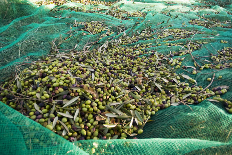 橄榄色的收获 库存图片