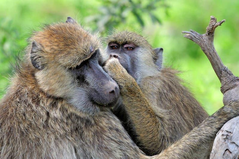 橄榄色的狒狒在肯尼亚的马塞人玛拉国家公园 免版税图库摄影