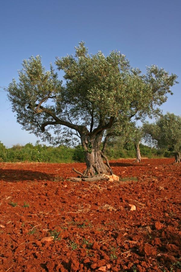 橄榄色红色土壤结构树 免版税库存图片