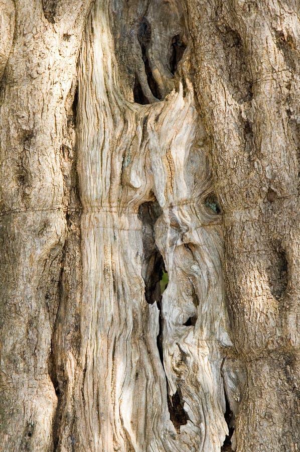 橄榄色纹理结构树 库存照片