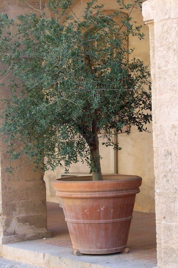 橄榄色罐赤土陶器结构树 免版税图库摄影