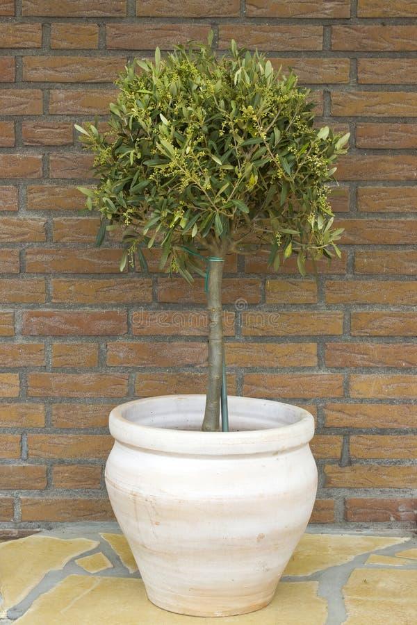 橄榄色罐赤土陶器结构树 免版税库存照片