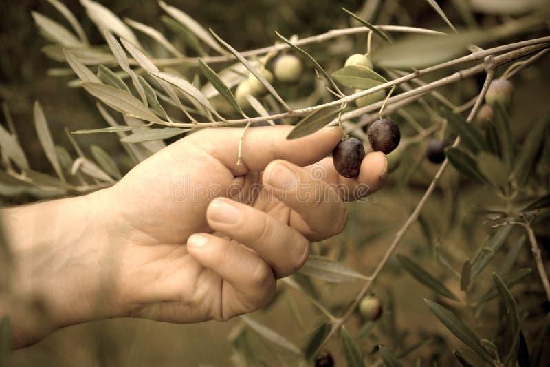 橄榄采摘 免版税库存图片