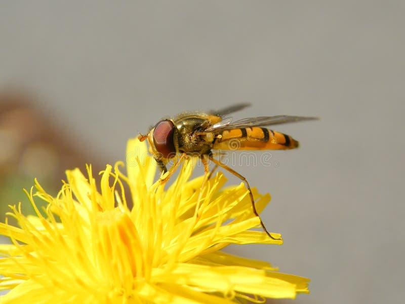 橘子果酱hoverfly,哺养在蒲公英开花的Episyrphus balteatus 库存图片