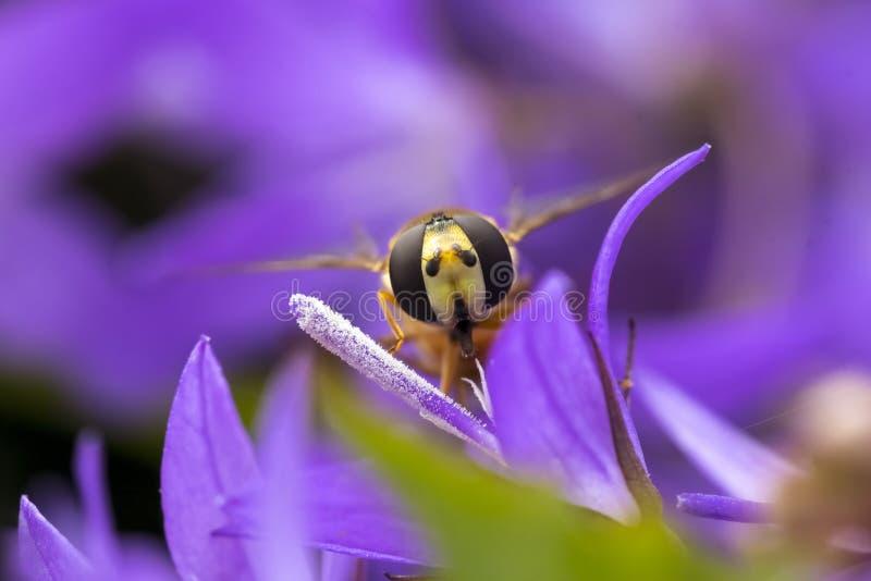 橘子果酱Hoverfly Episyrphus balteatus 库存图片