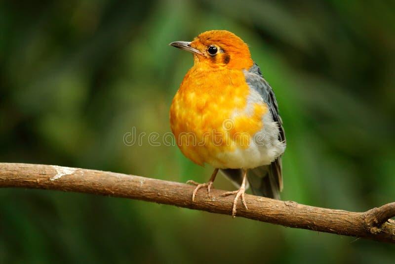 橙头鸫,桔黄雀,橙黑歌鸟 鸟坐树枝 自然栖息地的珍禽 免版税库存照片