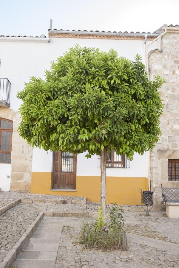 橙树在胡安de巴伦西亚广场,宇部 免版税库存照片