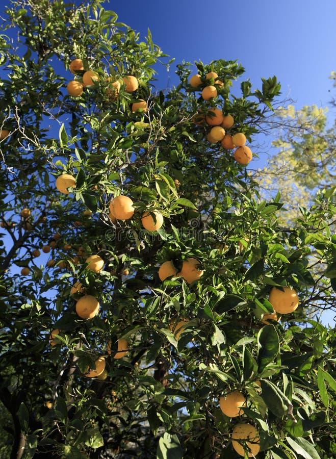 橙树在阳光下 免版税库存照片