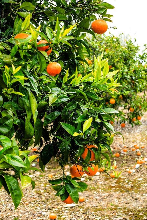橙树用成熟果子 免版税库存图片