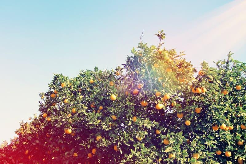 橙树的农村风景图象在柑橘种植园 被过滤的葡萄酒 免版税库存照片