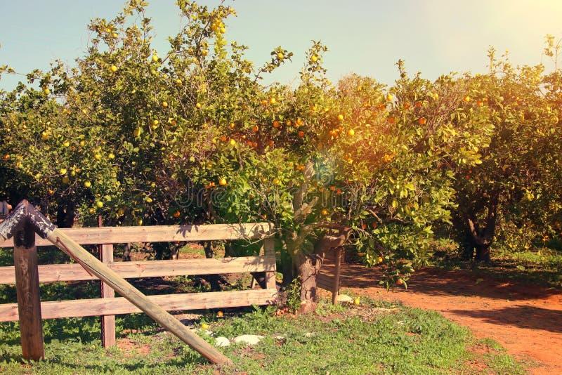 橙树的农村风景图象在柑橘种植园 免版税图库摄影