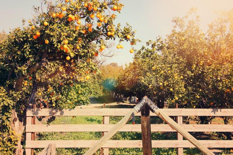 橙树的农村风景图象在柑橘种植园 免版税库存照片