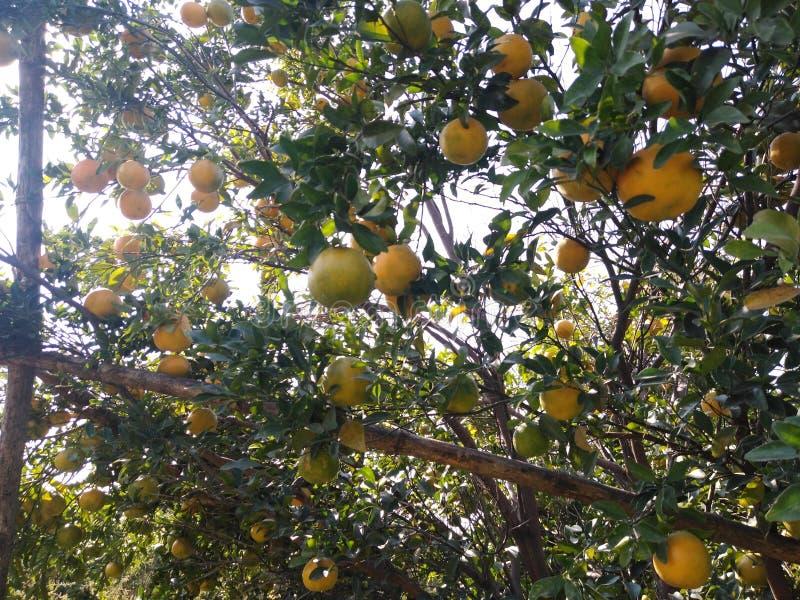 橙树黄果在我在那格普尔橙城印度的农场 库存照片