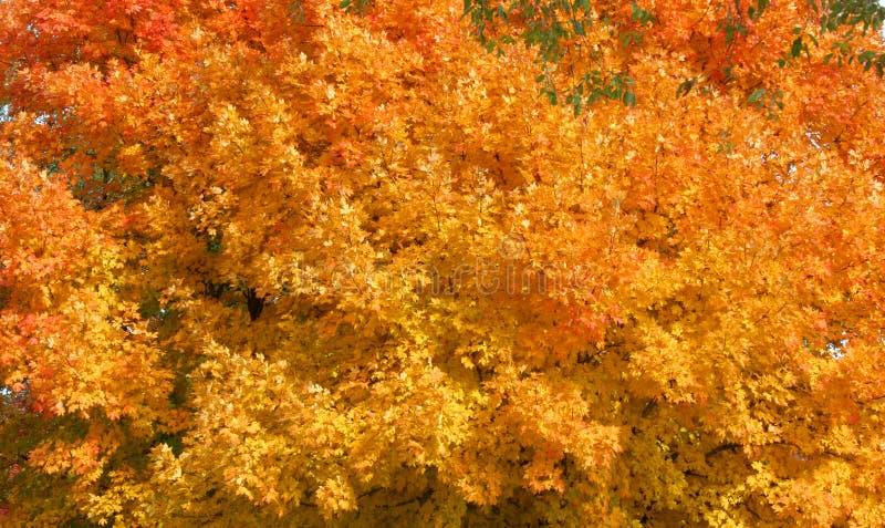 橙红和黄色秋叶或温暖秋天颜色 库存照片
