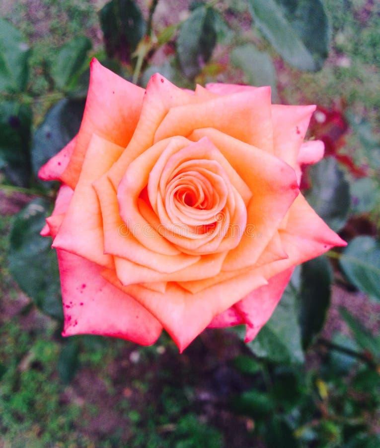 橙红罗斯 免版税图库摄影