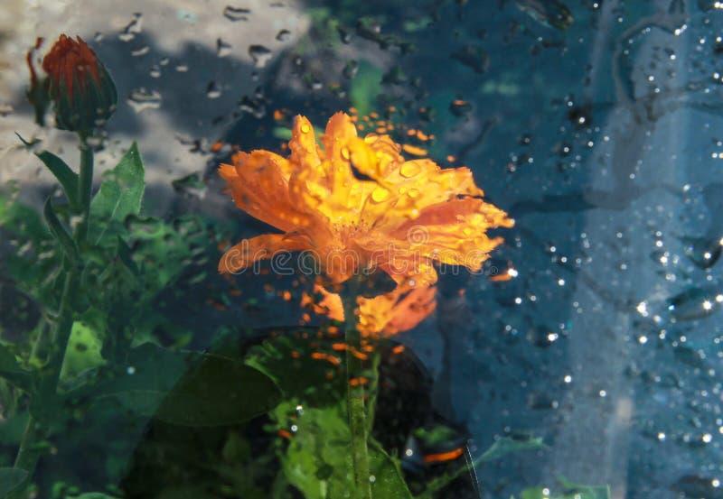 橙色万寿菊在庭院里开花 库存图片
