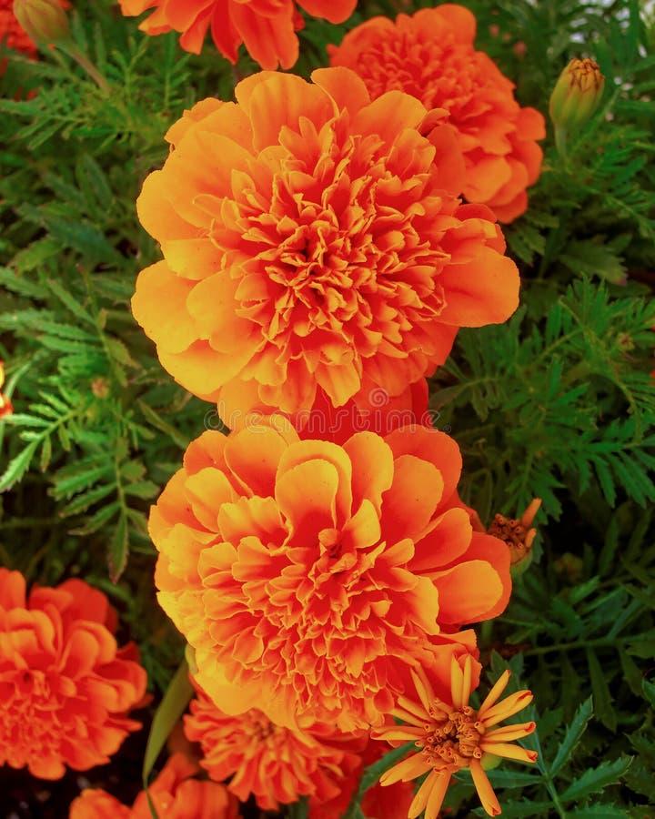 橙色万寿菊开花特写镜头 库存图片