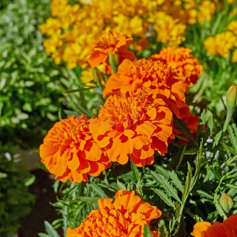 橙色万寿菊花在庭院里 免版税库存图片