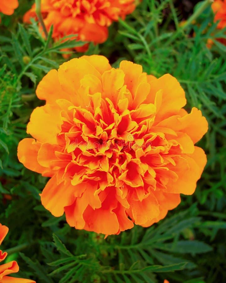 橙色万寿菊花在庭院里 免版税图库摄影