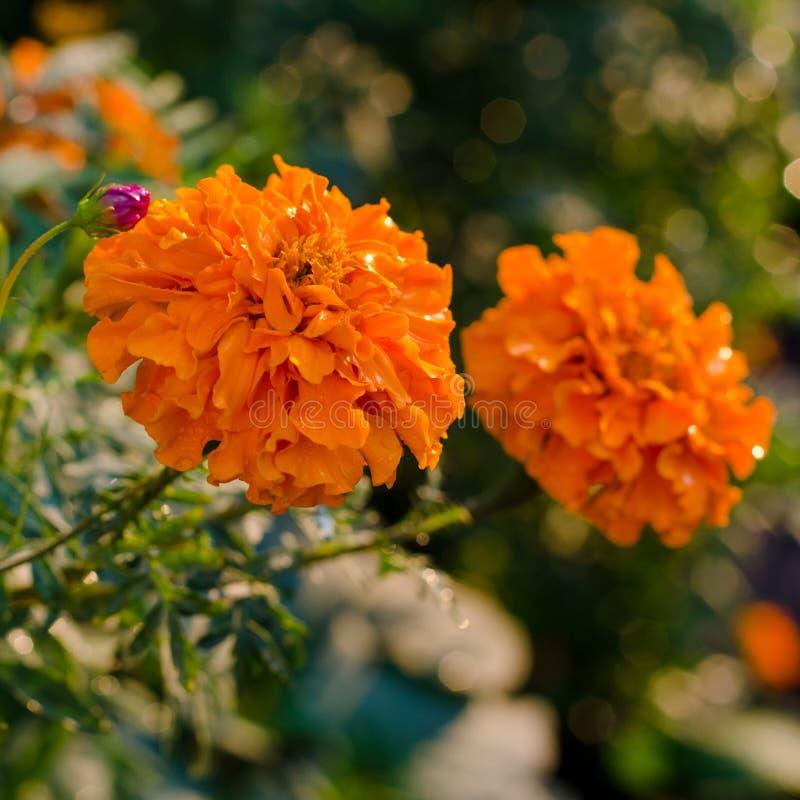 橙色万寿菊tagetes在花床上开花 免版税库存照片