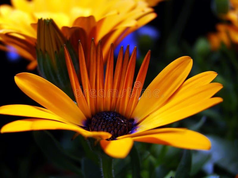 橙色交响乐 库存照片