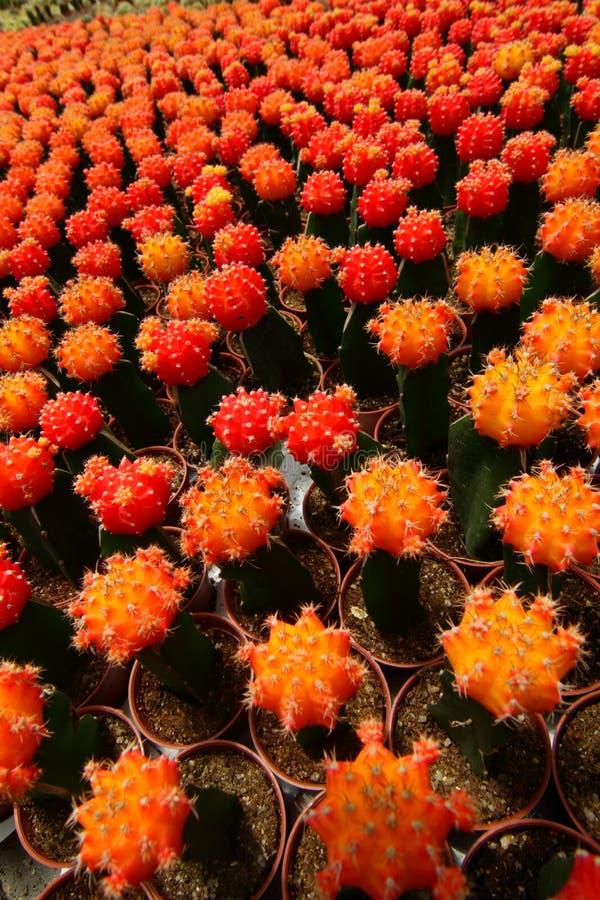 橙色仙人掌 免版税库存照片