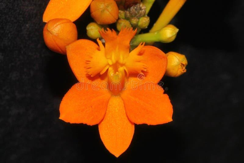 橙色兰花花好的细节  图库摄影