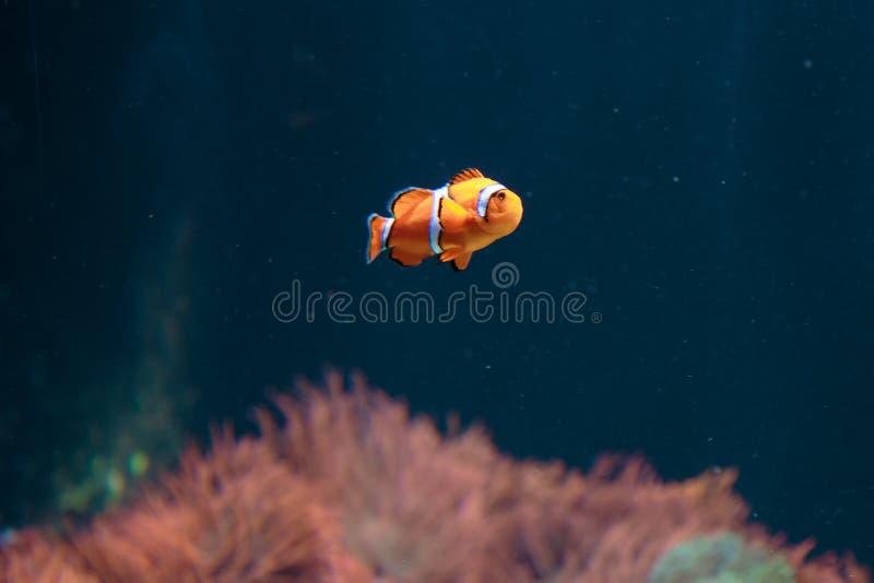 橙色双锯鱼在海洋水族馆里面的Ocellaris Clownfish 库存照片