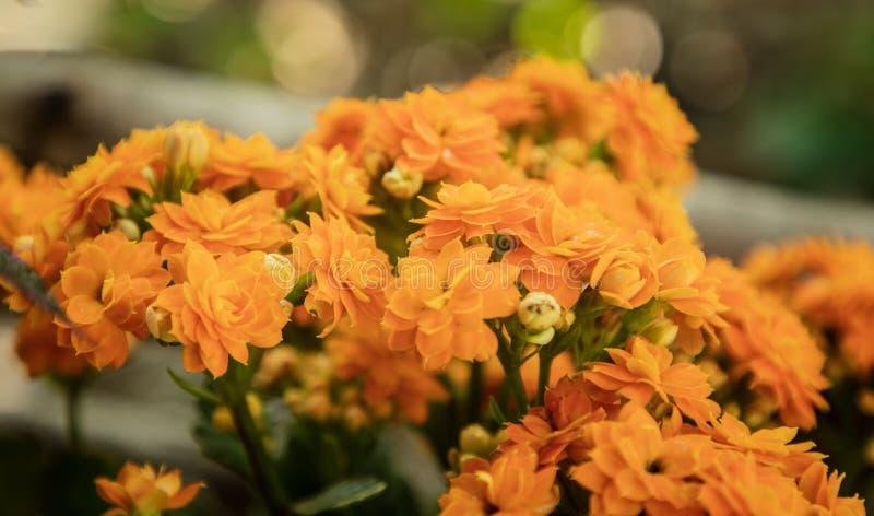 橙色发火焰的浅田或熊猫花开花 库存图片