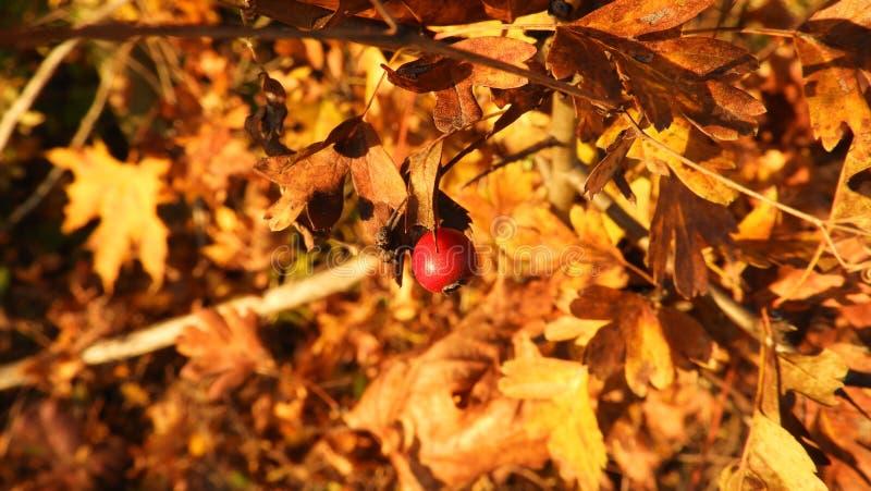 橙色叶子用红色莓果在秋天在多瑙河银行 库存图片